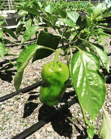 pepper 7-9-18